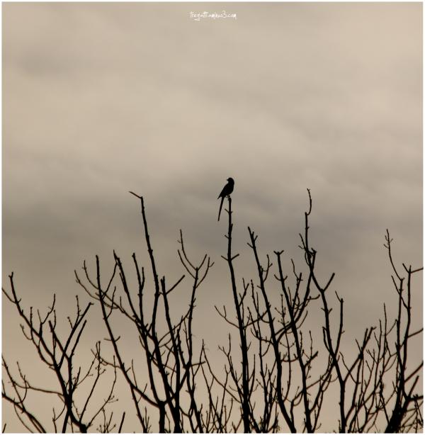 magpie, autumn