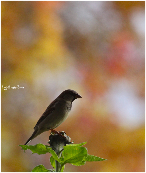 sparrow, autumn