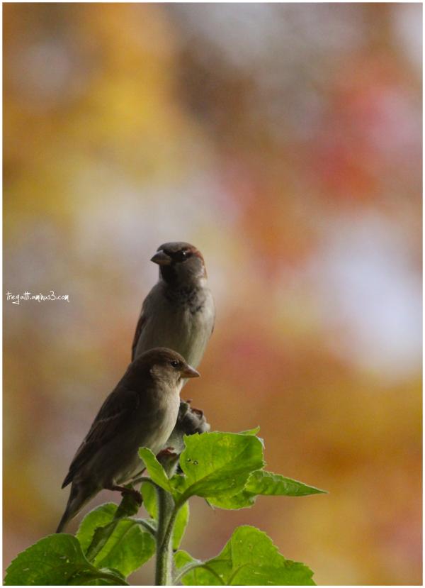sparrows, autumn