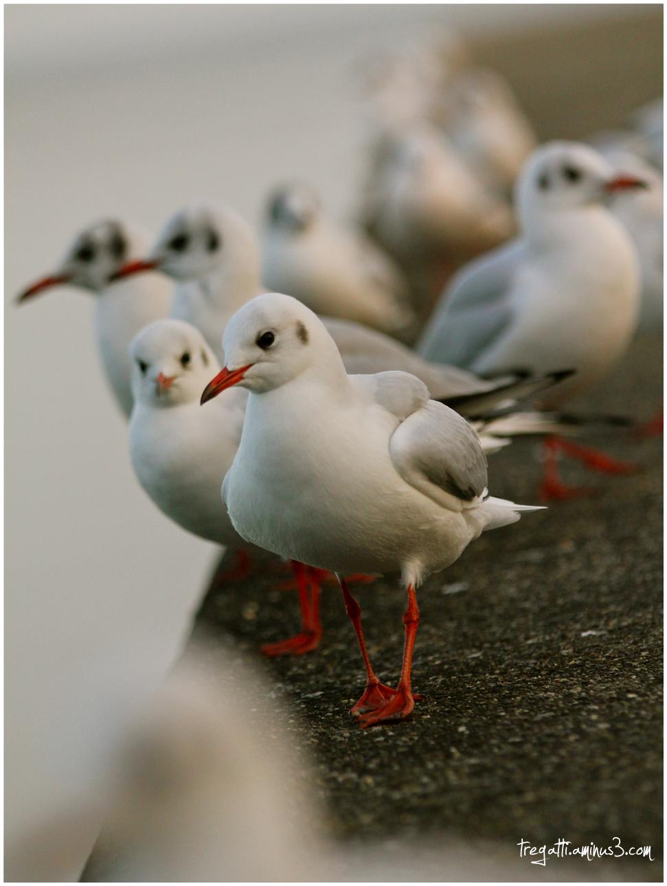 gulls, winter
