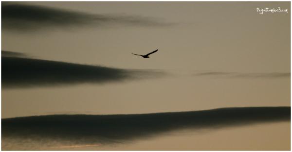 cormorant, clouds