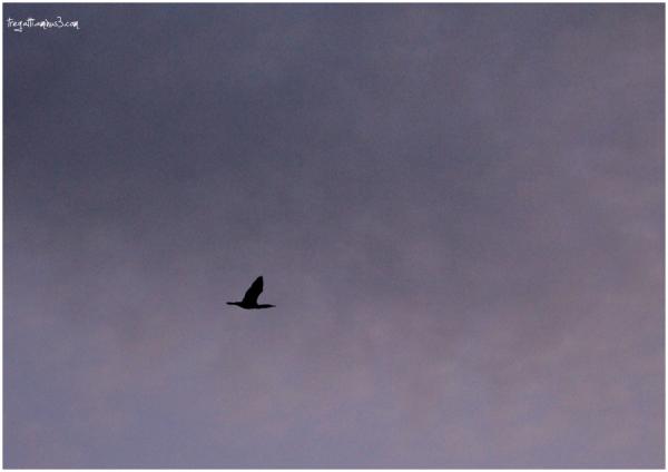 cormorant, sky