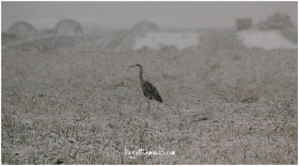 heron, snow