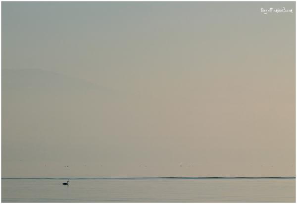 swan, lake, mountain