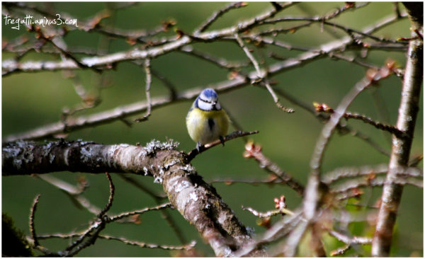 bluetit, cherry tree