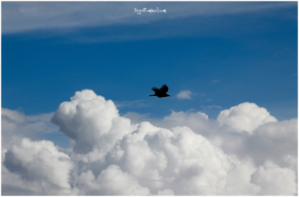 crow, clouds, sky
