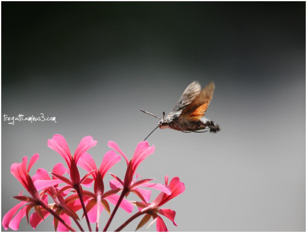 hawkmoth, geranium