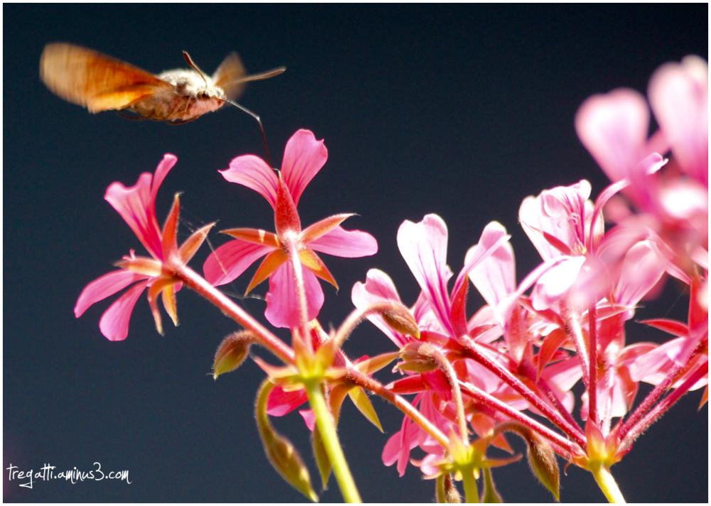 hawkmoth, geraniums