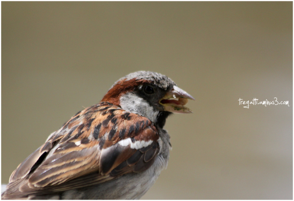 sparrow, moineau