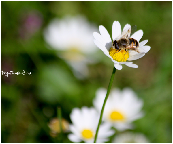 bee, daisy, wild thyme