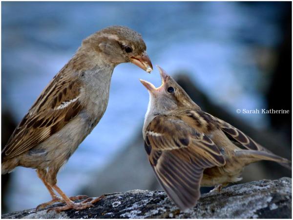 sparrows, feeding