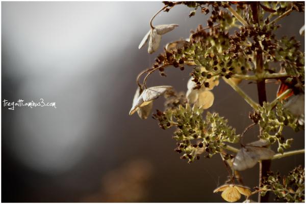 hydrangeas, autumn