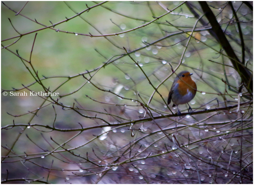 robin, rain, autumn
