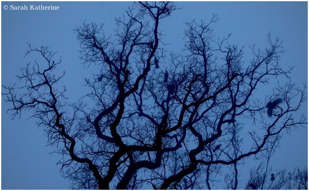 crows, winter