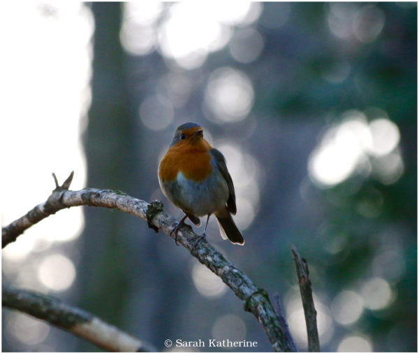 robin, forest