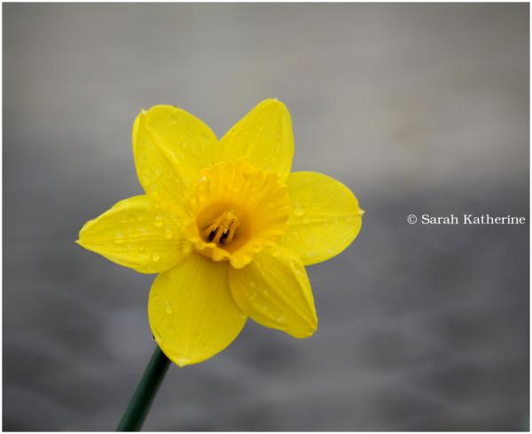 daffodil, spring