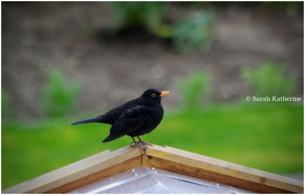 merle, blackbird
