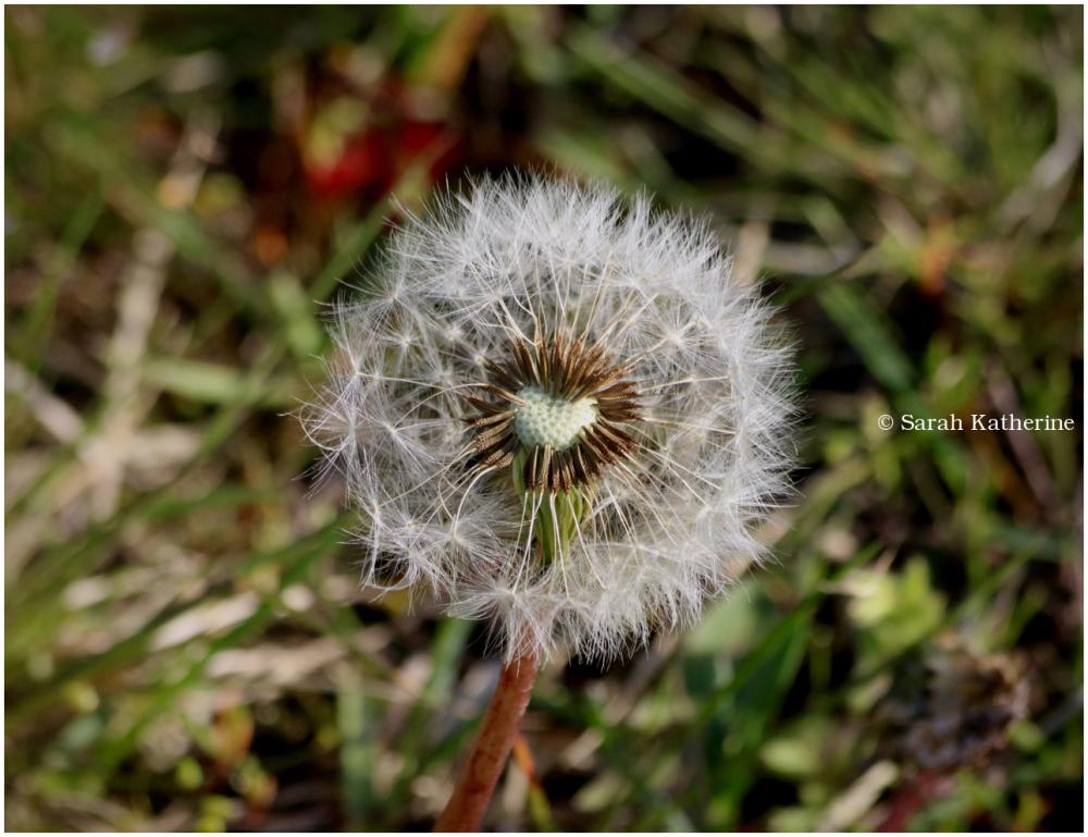 dandelion, heart