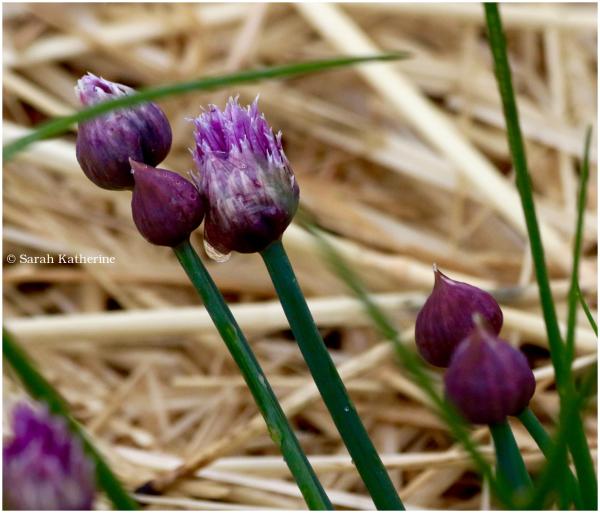 ciboulettes, fleurs