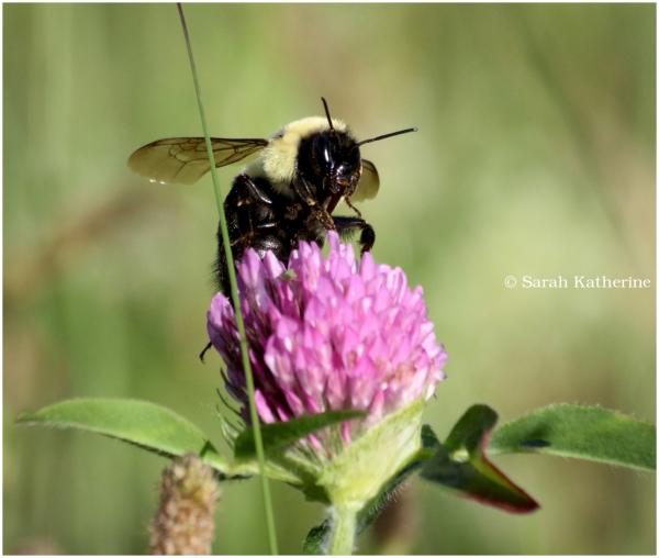 bee, clover