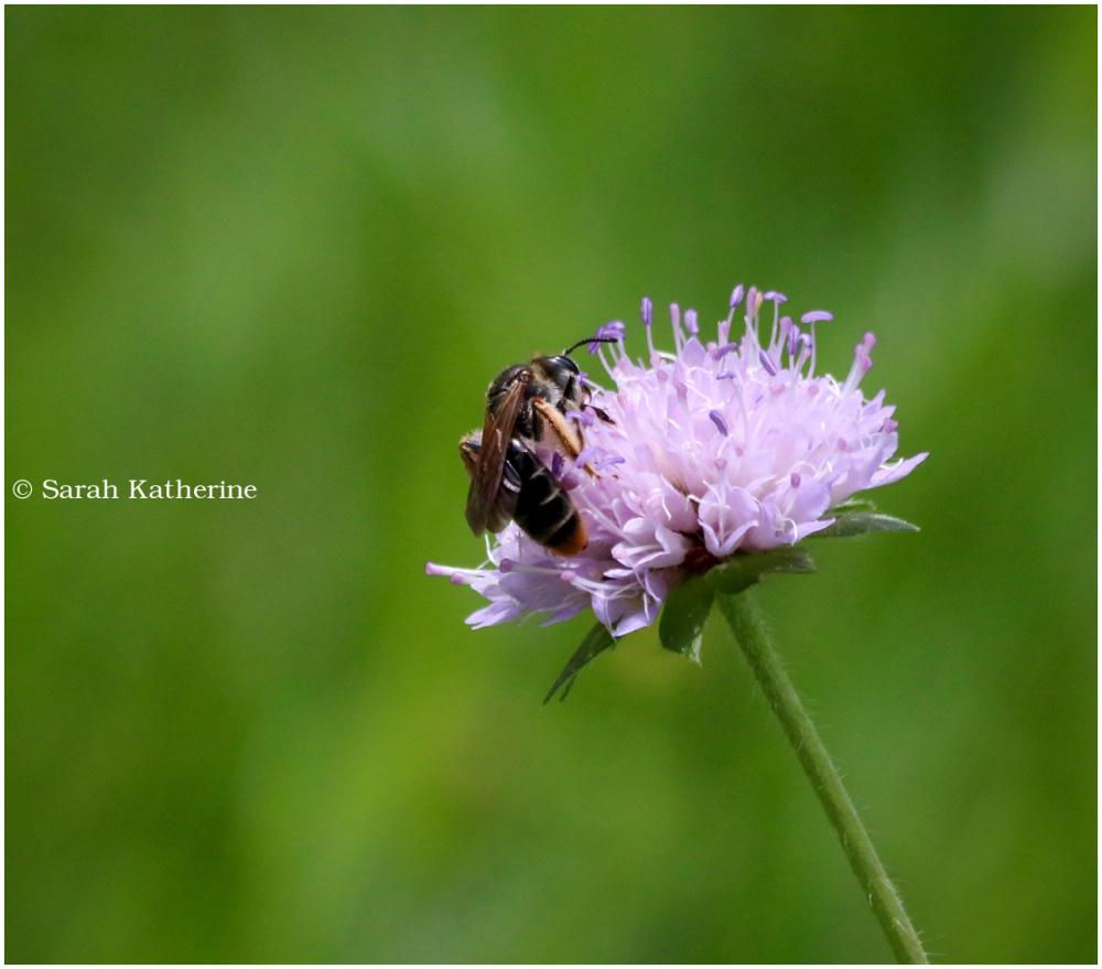 bee, wildflower