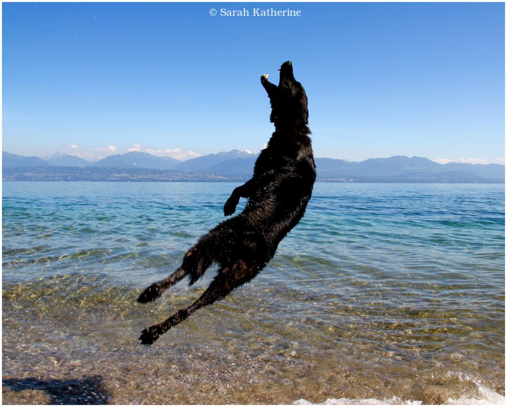 dog, lake, summer