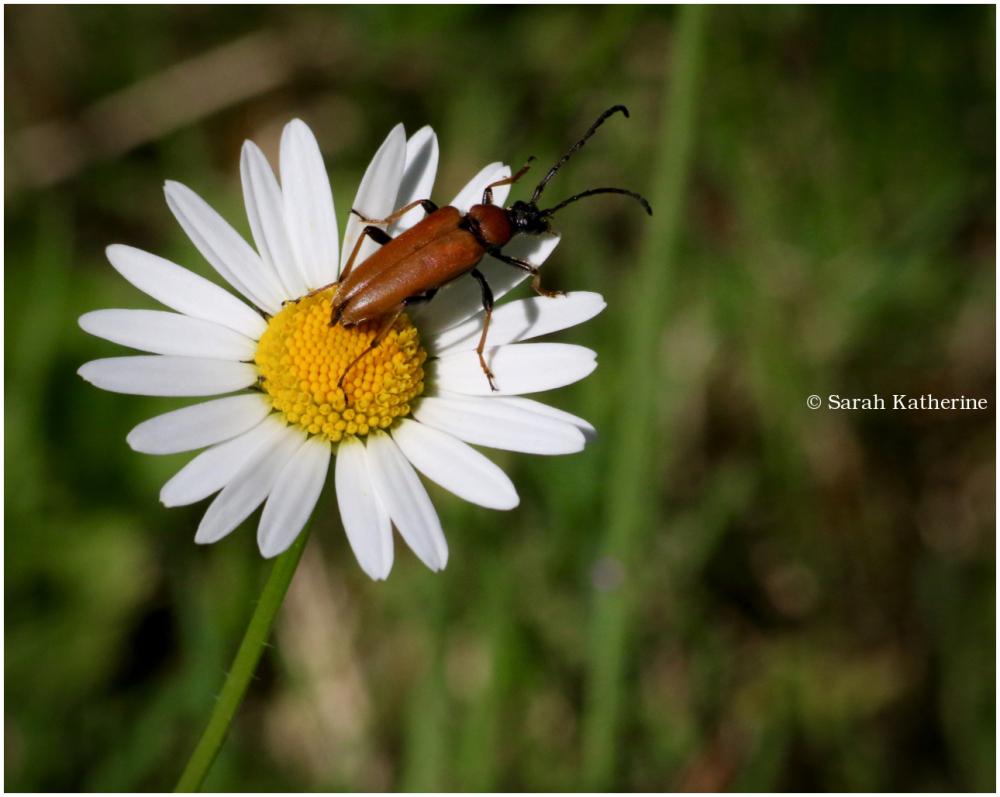 daisy, bug
