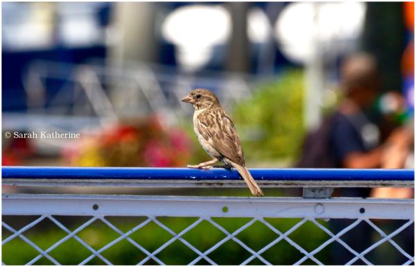 sparrow, boat, bird