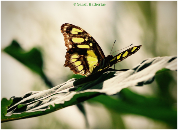 butterfly, leaf