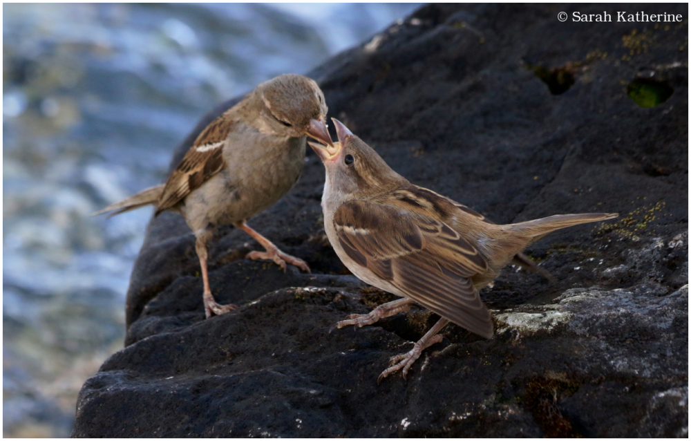 sparrows, feeding