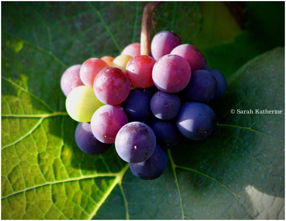 grapes, vineyard, autumn