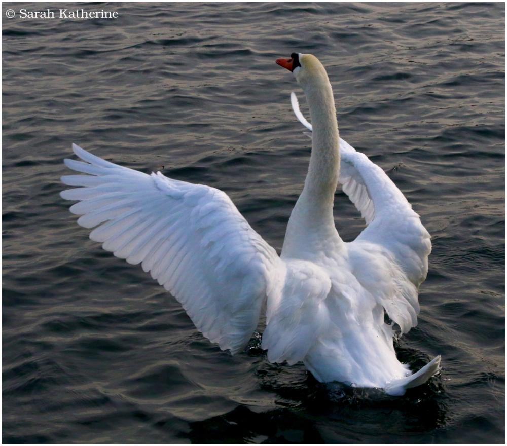 swan, lake, dusk