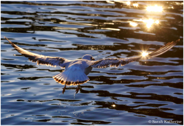 gull, lake, sunlight