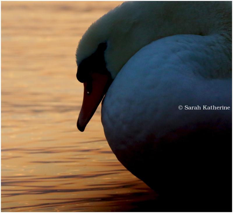 swan lake, sunset