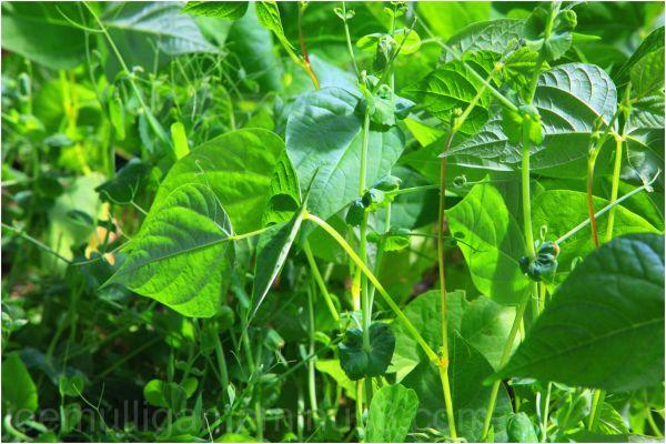 greenhouse peas