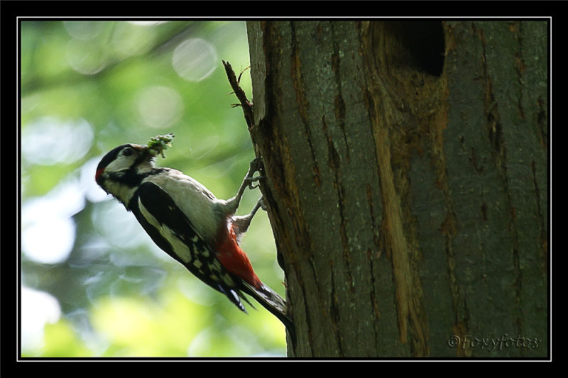 great spotted woodpecker  3/3