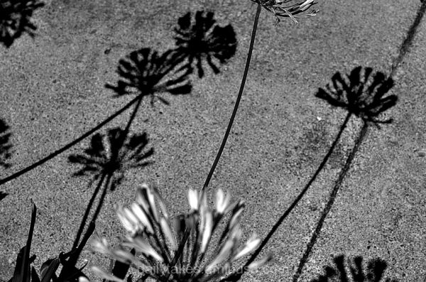 shadows agapanthus