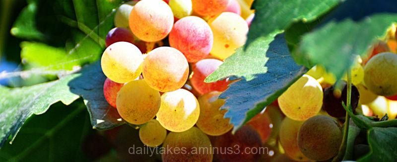 ripening grapes - 3