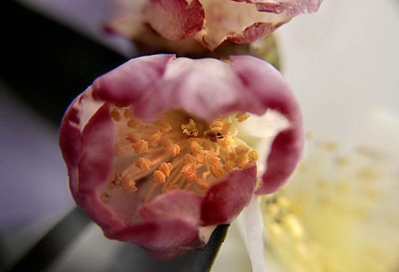 deep throat: camellia bud