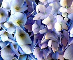 hydrangea: first blush of summer