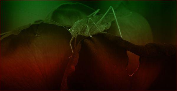 katydid perched upon a rose