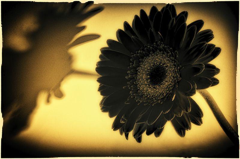 black daisy  . . .