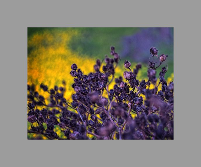 california winter: impression of thistle & mustard