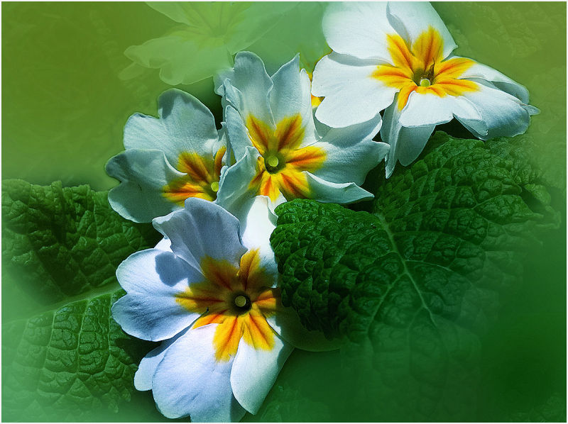 white primroses  . . .