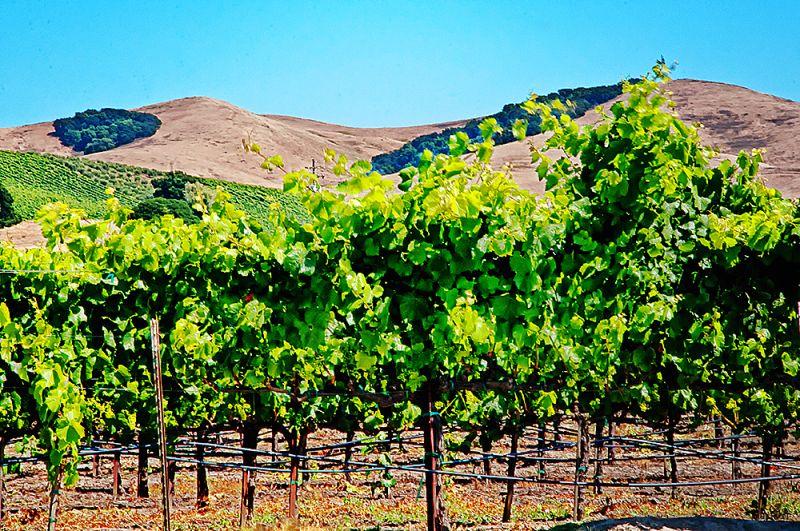 vines on the valley floor  . . .