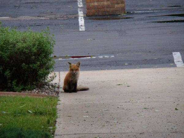 Baby fox in Fort Collins Colorado