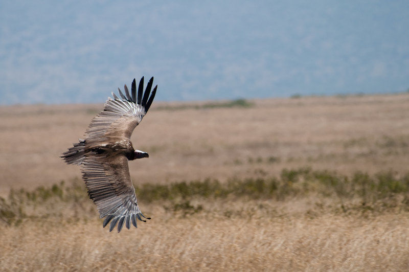Vulture in Serengeti