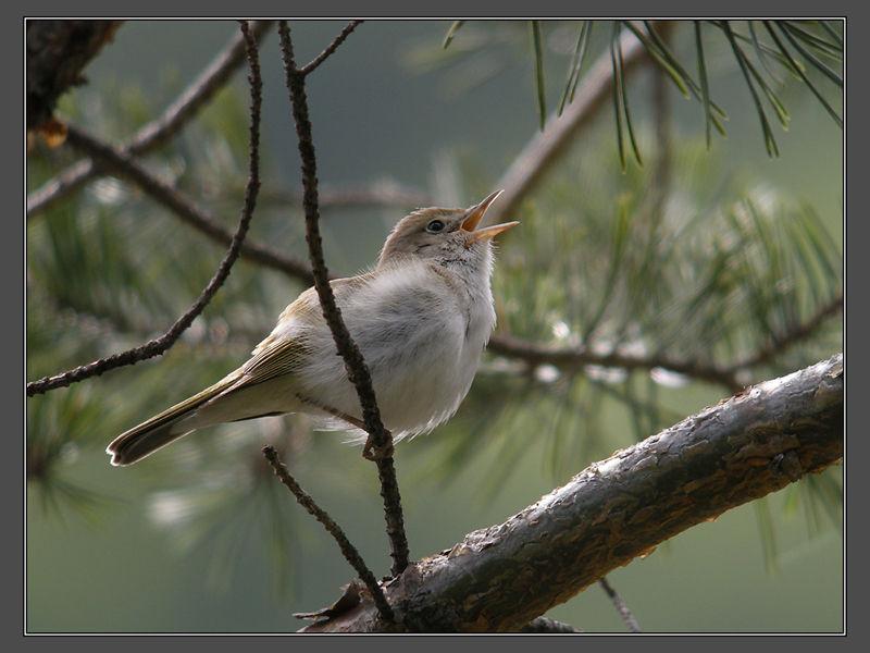 Bonelli´s Warbler