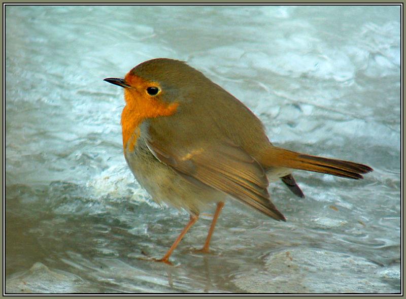 Robin on ice