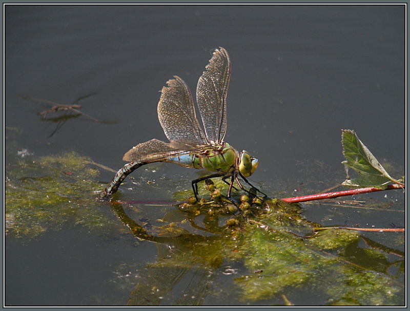 Große Königslibelle